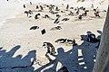 Penguins at Boulders Beach, Cape Town (21).jpg