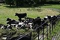 Penrose - Cows - panoramio.jpg