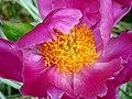 Peony Bloom.jpg