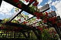Pergola rose bower, Essex, England 01.jpg