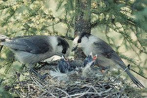 Corvidae - A gray jay pair feeding their chicks.