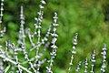 Perovskia atriplicifolia (Russian sage) 4 (49081267671).jpg