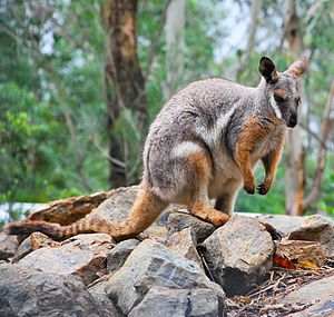 Woko National Park - Brush-tailed rock-wallaby