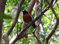 Petroica multicolor -Norfolk Island, Australia-8.jpg