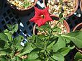 Petunia excerta - Flickr - peganum (2).jpg