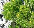 Peucephyllum schottii 6.jpg