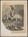 Phaps picata - 1868 - Print - Iconographia Zoologica - Special Collections University of Amsterdam - UBA01 IZ18900037.tif