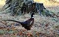 Pheasant at Castle Grant - geograph.org.uk - 1610030.jpg