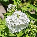 Phlox divaricata in Jardin des 5 sens (3).jpg