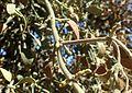 Phoradendron leucarpum ssp tomentosum kz2.jpg