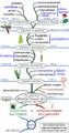 Phylogénie végétale.png