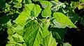 Physalis-Pflanze Blätter, lat. Physalis peruviana.jpg