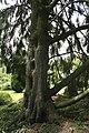 Picea abies 'Aurea' JPG1b.jpg