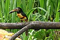 Piciformes (8438986045).jpg