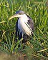 Pied Heron (Egretta picata) - Flickr - Lip Kee (5).jpg