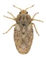 Piesma maculatum 1.png