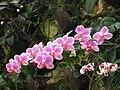PikiWiki Israel 1683 orchids סחלבים.jpg