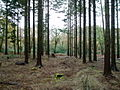 Pine Forest at Hoyton Hill - geograph.org.uk - 1067299.jpg