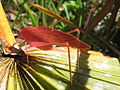 Pink-orange katydid, Florida.jpg