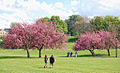 Pink Blossoms in Ilkley.jpg