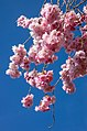 Pink double cherry blossoms in Torp 12.jpg