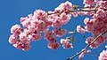 Pink double cherry blossoms in Torp 9.jpg