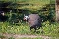 Pintade de Numidie (Zoo-Amiens).JPG