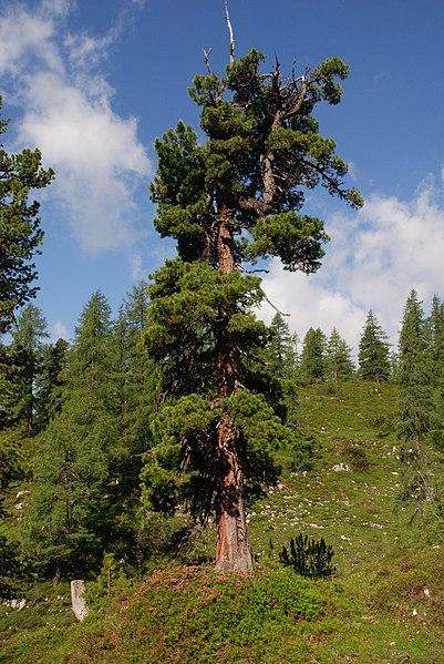 Foto einer Zirbelkiefer - Originalveröffentlichung und Bildrechte beim Nutzer Tigerente auf wikipedia.org
