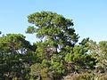 Pinus clausa 002 by Scott Zona.jpg