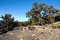 Pinus monophylla White - Inyo Range.jpg