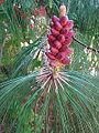 Pinus pseudostrobus, male cones (11332867843).jpg