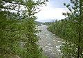 Pinus sibirica Urals2.jpg
