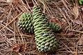 Pinus taeda cones.jpg