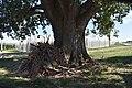 Pioppo canescente (Berra) 11.jpg