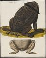 Pipa americana - 1700-1880 - Print - Iconographia Zoologica - Special Collections University of Amsterdam - UBA01 IZ11500261.tif