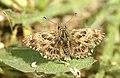 Piquitos castaña - Mallow Skipper - Charcharodus alceae (514945654).jpg