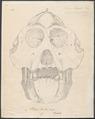 Pithecus brookei - schedel - 1700-1880 - Print - Iconographia Zoologica - Special Collections University of Amsterdam - UBA01 IZ19800080.tif