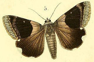 <i>Achaea lienardi</i> Species of moth