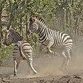 Plains zebra (common zebra or Burchell's zebra), Equus quagga at Kruger National Park, Limpopo, South Africa (48258302551).jpg