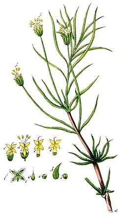 Psyllium de plantago para adelgazar