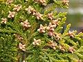 Platycladus orientalis 20070330 2.jpg