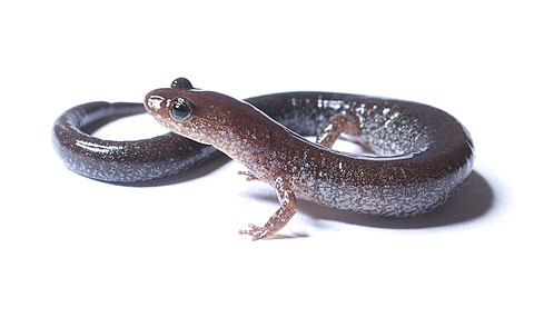 Sexual selection has been studied in the red back salamander Plethodon cinereus.jpg