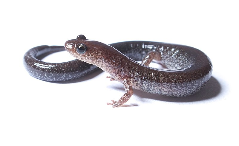 File:Plethodon cinereus.jpg