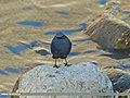 Plumbeous Water Redstart (Rhyacornis fuliginosa) (15893422971).jpg