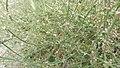 Polygonum oxyspermum subsp. raii plant (07).jpg