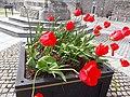 Poppy flower in Northern Ireland.jpg