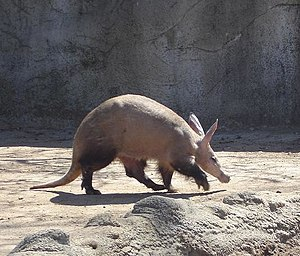 An aardvark at Detroit Zoo