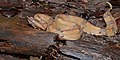 Porthidium nasutum (La Selva Biological Station).jpg