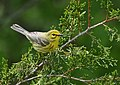 Portrait of a Female Prairie Warbler (47009244964).jpg
