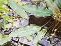 Potamogeton nodosus sl16.jpg
